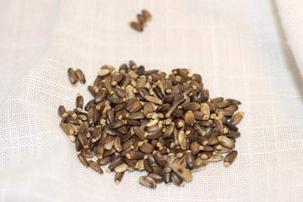 Лекарственным сырьем служат семена расторопши