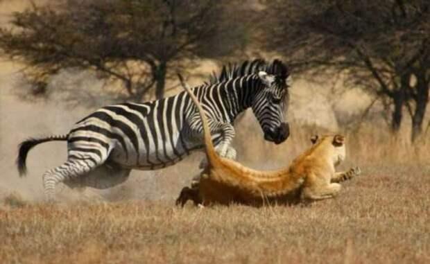 Если лошадь и зебра родственники, то почему люди не оседлали полосатую «скотинку»