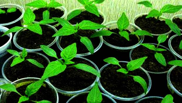 Как высевать перец на рассаду