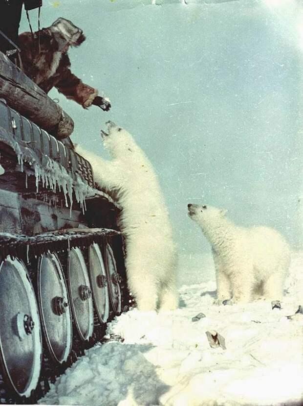 Советские солдаты кормят белых медведей с танка. 1950 год.