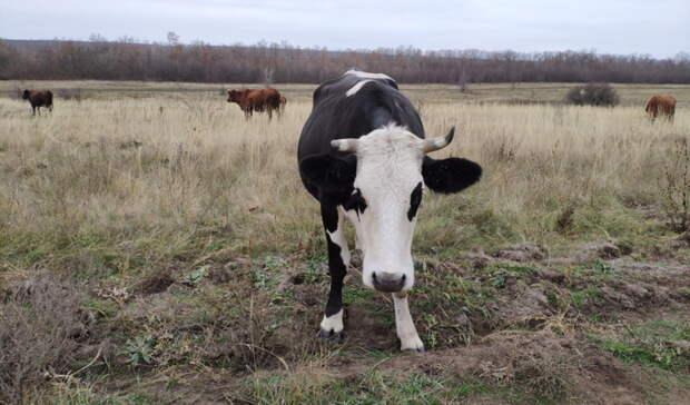Новоорчанин отсудил у пастуха 50 000 рублей за погибшую корову