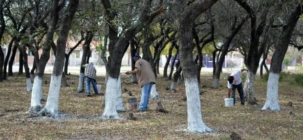 Самое важное о том, как побелить плодовые деревья осенью и зачем