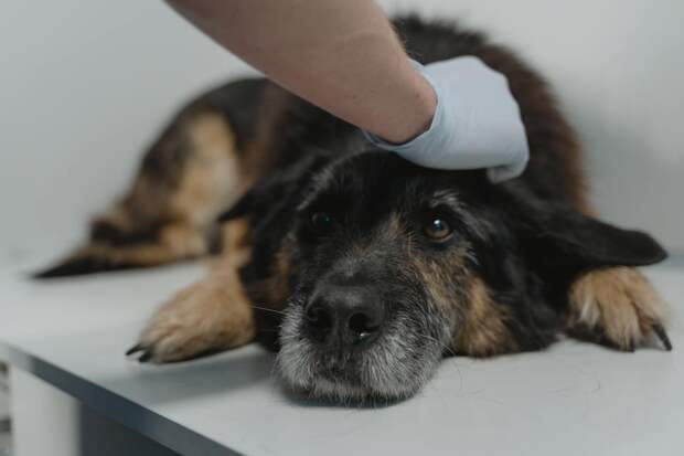 Эксперты оценили необходимость прививать отCOVID-19 домашних животных