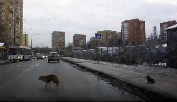 Мама побежала через дорогу, а щенок так и остался стоять один. На помощь пришел Человек