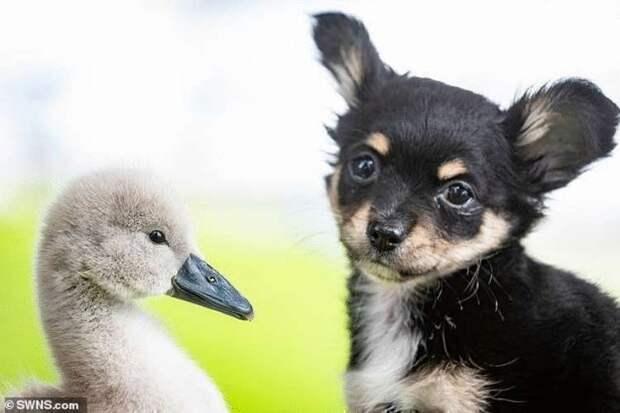 Мужчина спас и вырастил птенца лебедя, взрослая птица отказалась он него улетать