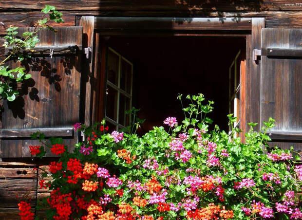 Уход за геранью: чтобы радовала пышным цветом