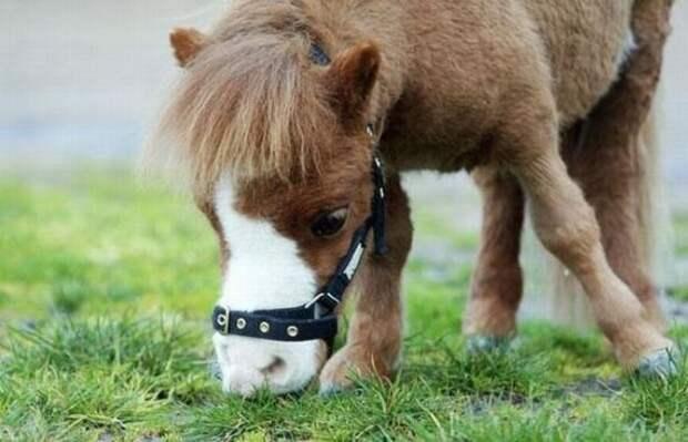 Мини лошадка Koda (10 фото)