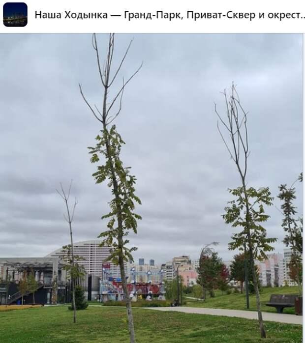 Желание жителей не повлияет на кронирование деревьев в Ходынском парке