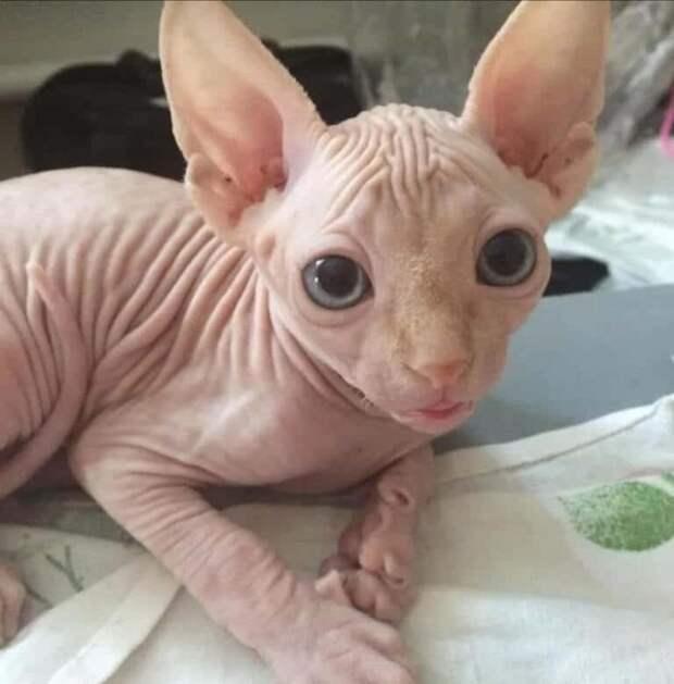 Котёнок бамбино, которого нашёл маленький мальчик смог обрести себе тёплый дом, благодаря своей цене