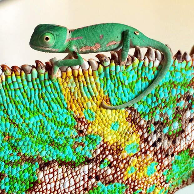 cute-baby-chameleons-71-5835e8d1672f1__700