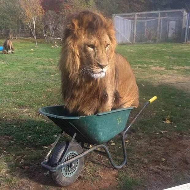 Лев в тачке