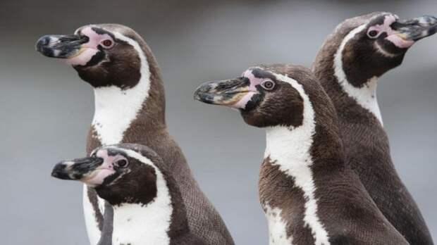 Пінгвін Гумбольдта