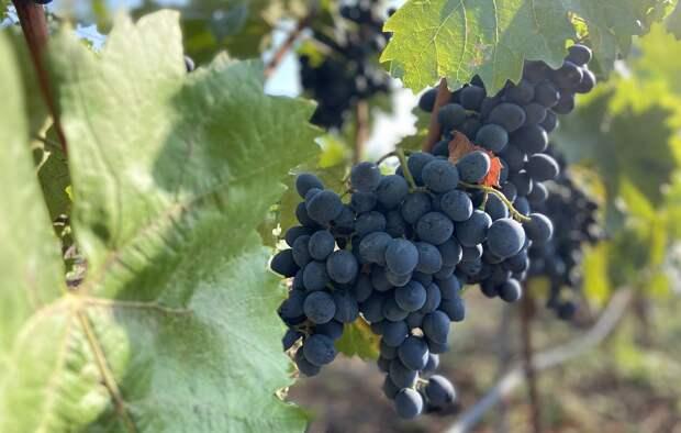В Дагестане в 2021 году направили на переработку рекордный объем винограда