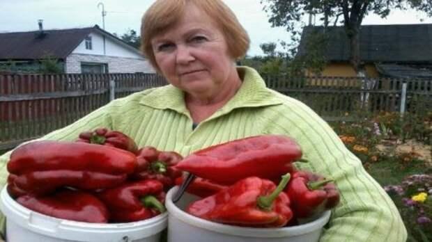 Удобрения для перца: средства, нормы и особенности внесения