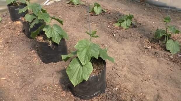 3 способа выращивания огурцов, о которых должен знать каждый