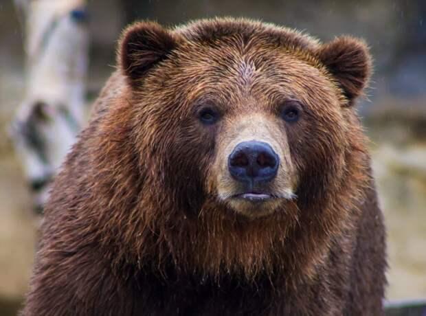 Российская красавица и медведь стали вирусными