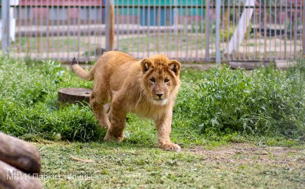 В зооуголке Симферополя появилось львиное семейство