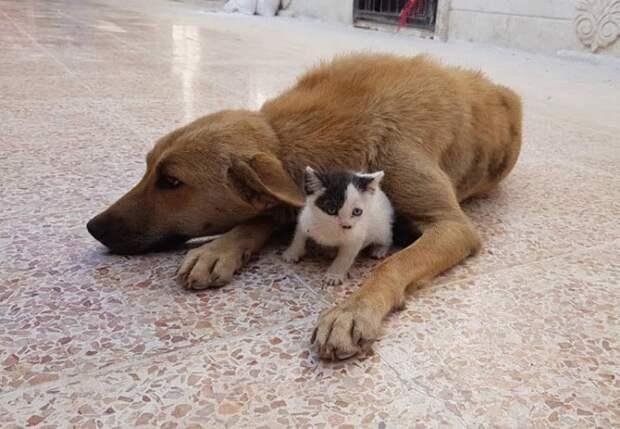 Собака, лишившаяся щенков, усыновила малютку-котенка и теперь они лучшие друзья