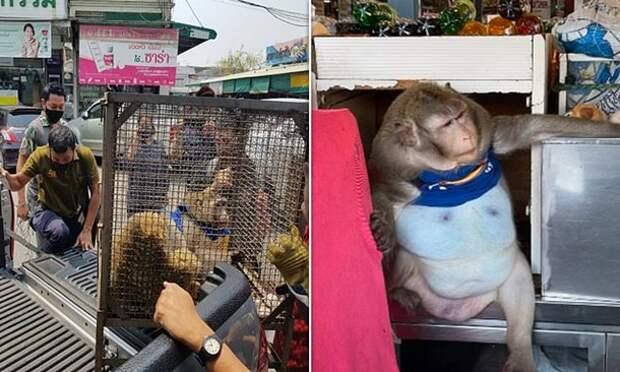 Очень толстую обезьянку отправили в «лагерь похудения»