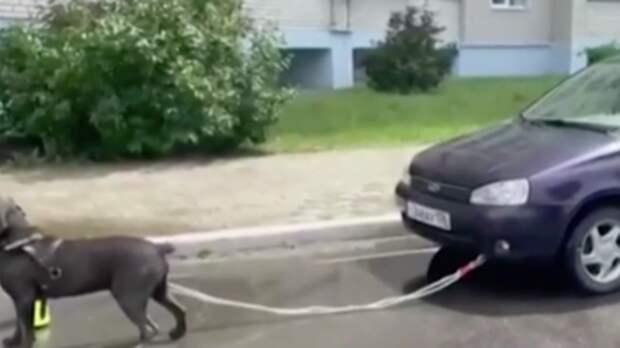 Пес-силач из Воронежа установил новый мировой рекорд