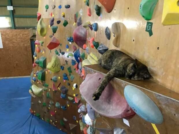 Кошка Лала живёт в зале для скалолазания и занимается им каждый день
