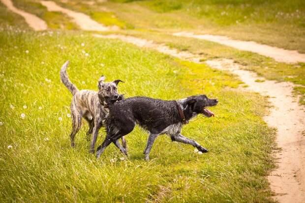 собаки играют
