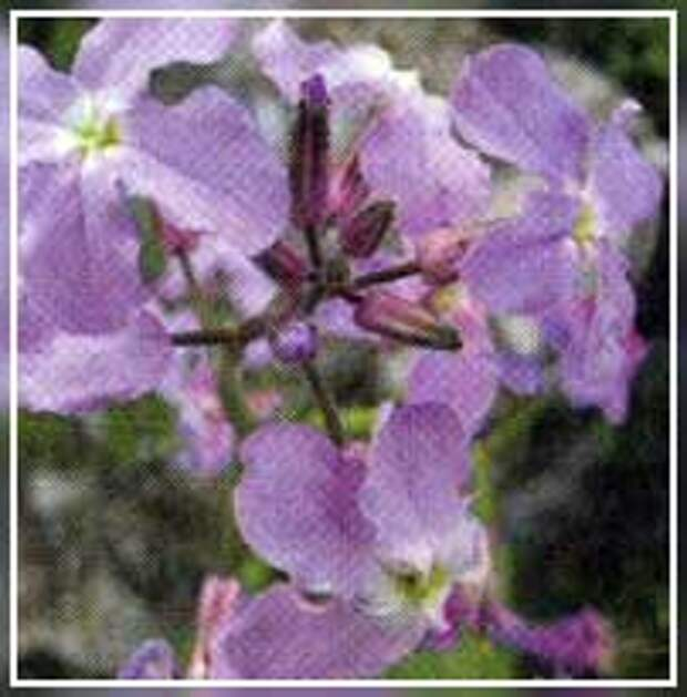 Двулетние растения и цветы — примеры и уход