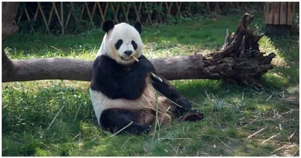 Панда с большим аппетитом ест бамбук