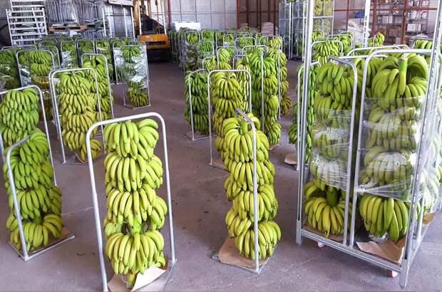 процесс газации бананов