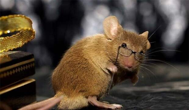 Длительное соседство с человеком помогло мышам развить когнитивные способности