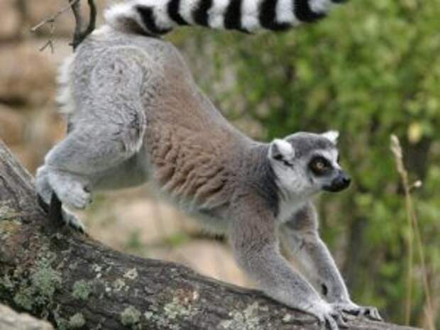 Мадагаскарский лемур