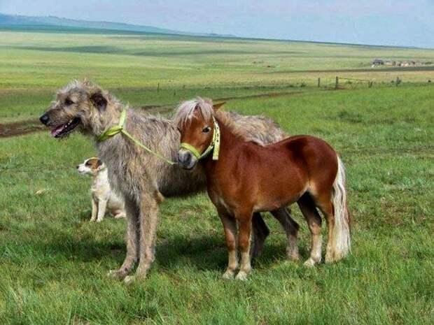 Великолепное трио домашний питомец, животные, ирландский волкодав, размер, собака