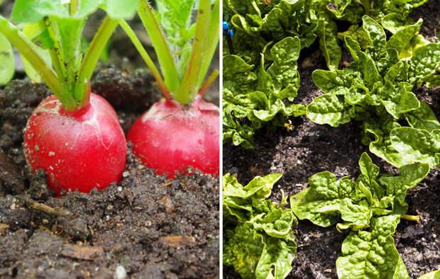 26 растений, которые всегда должны расти бок о бок на одной грядке