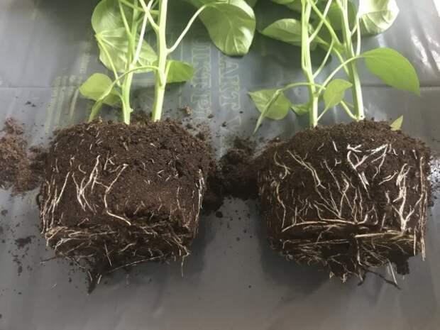Степень развития корневой системы перца сладкого. Слева без стимуляторов корнеобразования. Справа при обработке растений стимуляторами корнеобразования