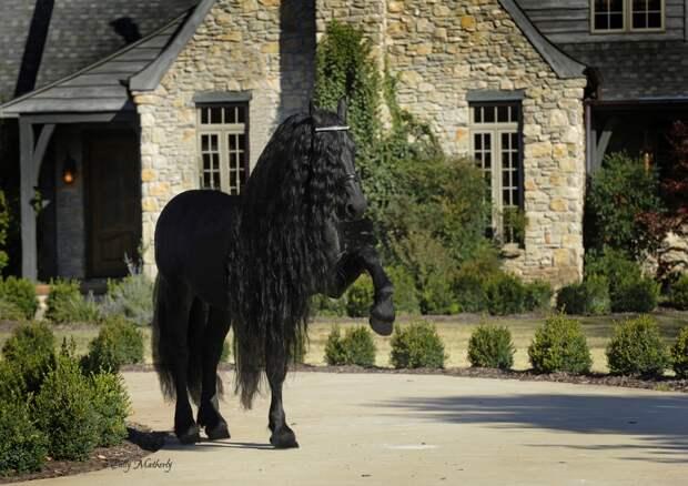 Самая красивая лошадь в мире — черный жеребец Фридрих Великий