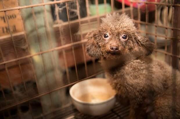 Биби забрали в ветеринарную клинику для животных округа Кабаррюс (Северная Каролина, США). А потом ее взяла к себе домой сотрудница клиники Бренда Торторео до и после, доброта спасет мир, домашние животные, история собаки, пудель, собака, спасение животных, спасение собаки