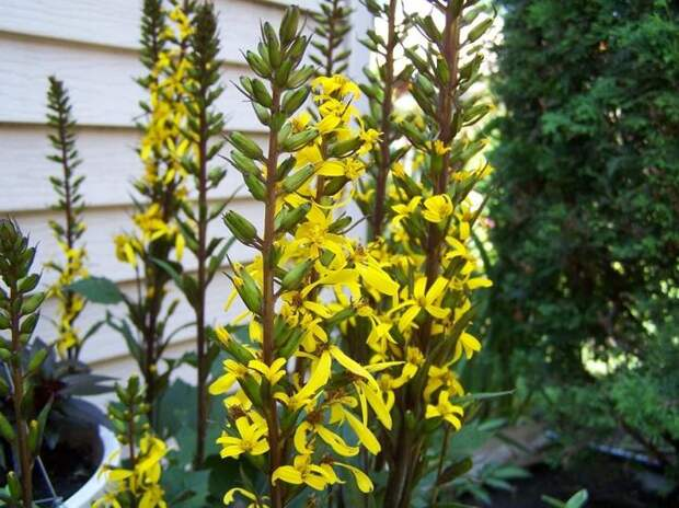 Ярко-желтые соцветия бузульника украсят дачный участок