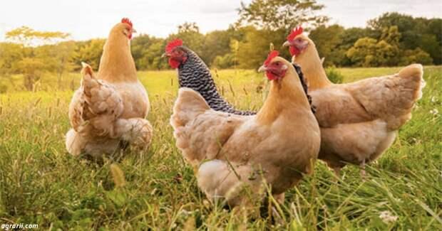 Французский фермер начал использовать кур вместо пестицидов. И это работает!