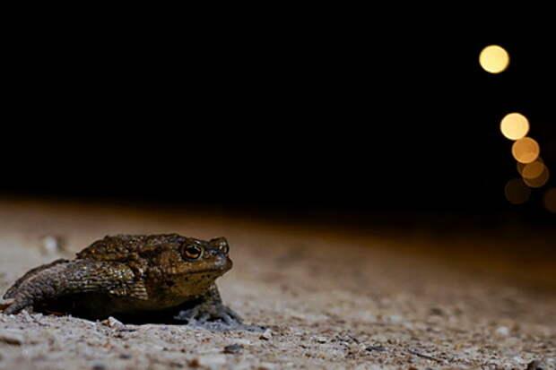 Новый вид лягушек получил имя прародителей рока