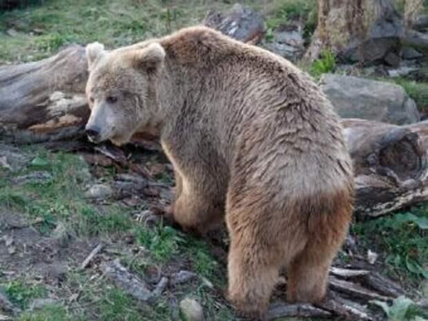Альпинистам повстречался тяньшаньский белокоготный медведь