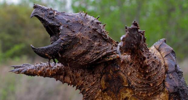 1028933 alligator snapping turtle