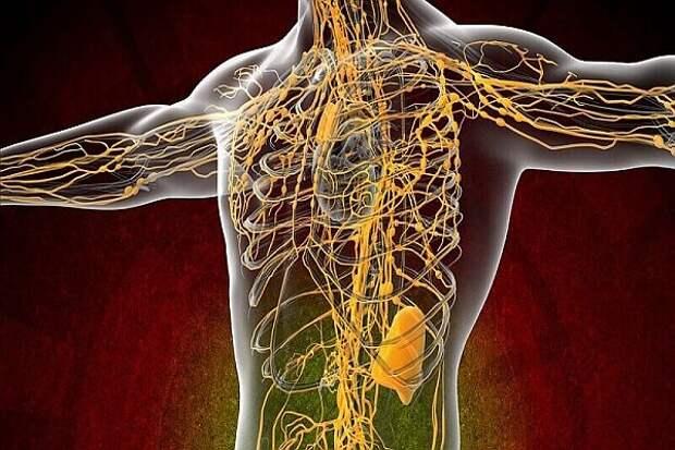Ещё раз про лимфатическую систему...