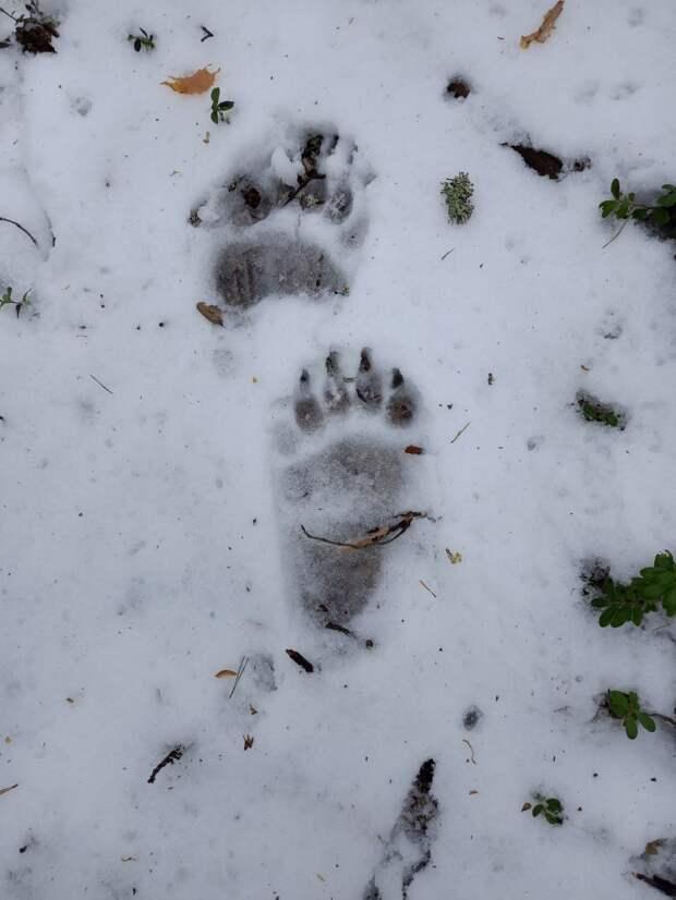 В окрестностях Сегежи обнаружили следы медведя