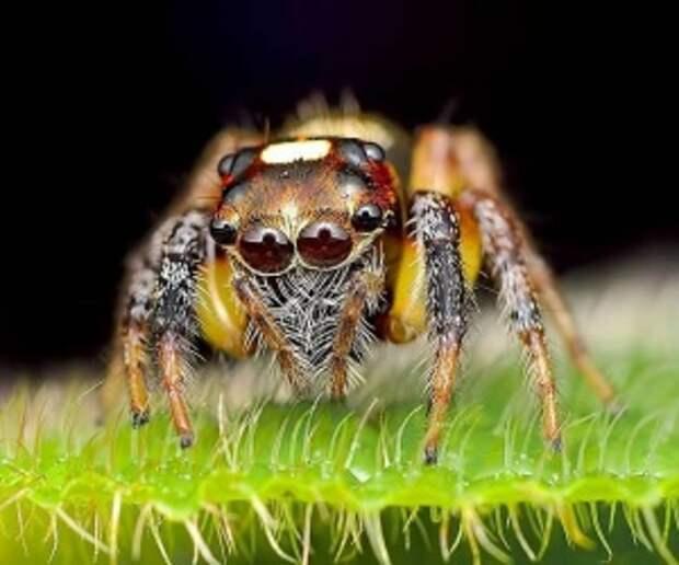 Макрофотографії малазійских павуків