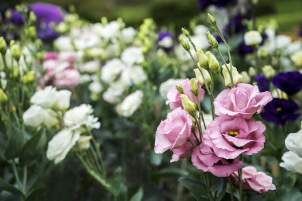 Высадите в саду королеву букетов — элегантную и изысканную эустому