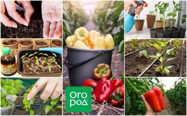 От посева семян до уборки урожая – календарь ухода за перцем с января по октябрь