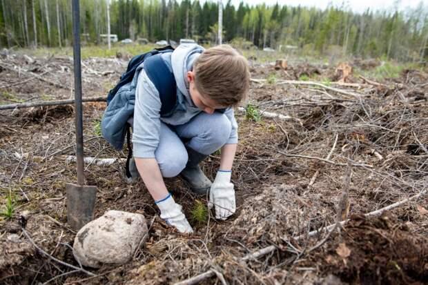 «Сад памяти» из 19 тысяч сосен высадили в Прионежском районе
