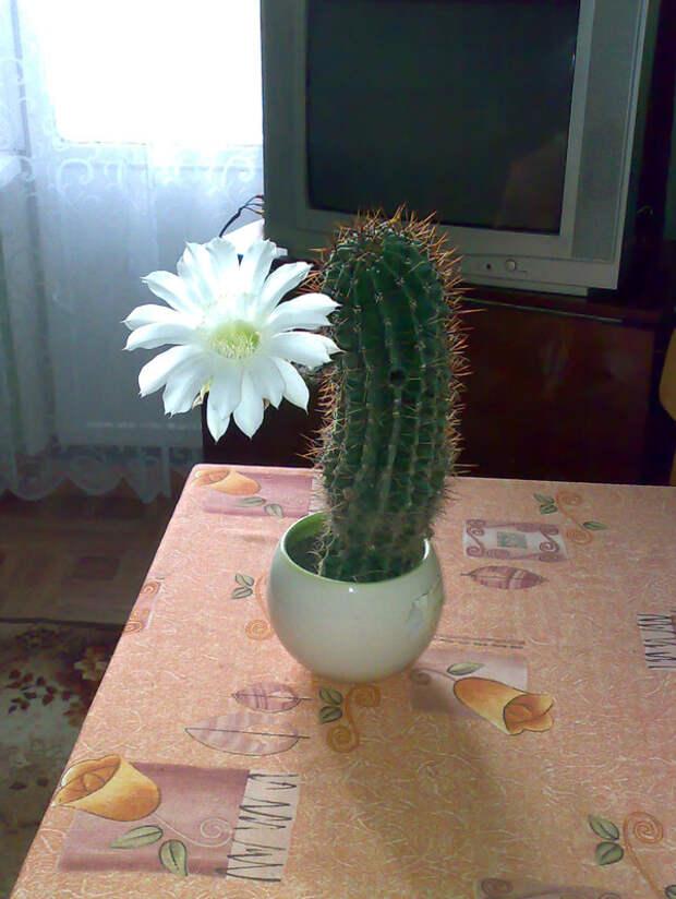 У меня зацвел кактус Цветение, кактус, растение в горшке, цветок