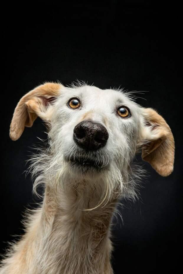 2. Порода, борзая, гальго, животные, испания, собака, спасение, фотография
