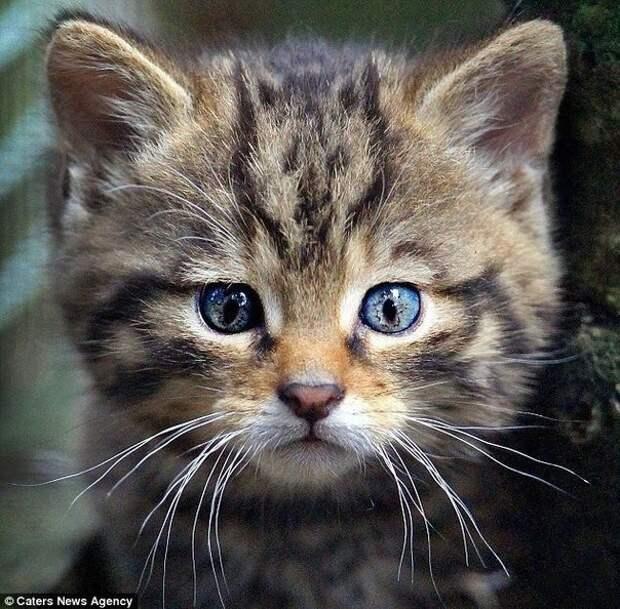 Голубоглазое чудо с рисунком на голове животные, коты, милота
